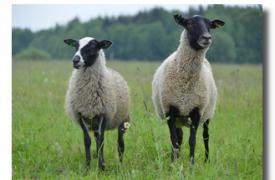 Выбор овцы при покупке